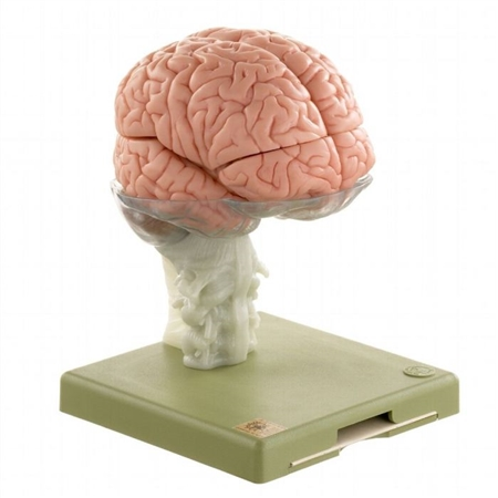 SOMSO Model of the Human Brain | Model of the Human Brain | SOMSO Model of the Human Brain in 15 Parts | SOMSO Model of the Human Brain BS-25
