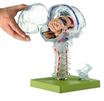 Transparent Brain Model | SOMSO Transparent Brain Model | SOMSO Transparent Brain Model BS25-T