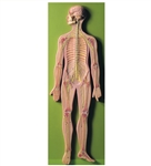 Nervous System Model SOMSO Nervous System | SOMSO Nervous System Model | SOMSO Nervous System Model BS-27
