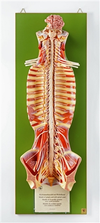 SOMSO Spinal Cord | SOMSO Spinal Cord  Model | SOMSO Spinal Cord in the Spinal Canal | SOMSO Spinal Cord Model in the Spinal Canal | SOMSO Spinal Cord Model in the Spinal Canal BS-31