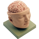 Head Model | Base of the Head Model | SOMSO Base of the Head Model | SOMSO Base of the Head Model BS-5 | Buy SOMSO Base of the Head Model BS-5 On Sale
