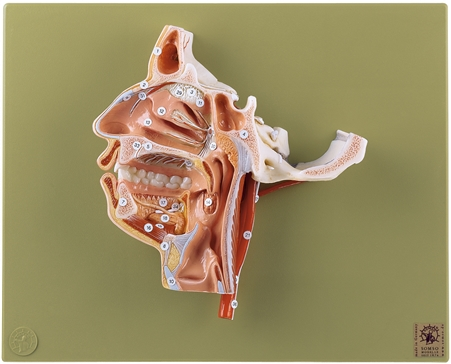 SOMSO Model of the Head