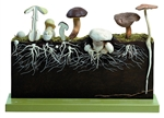 Development of Hat Fungi BoS 226
