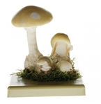 SOMSO Amanita Phalloides Model 3 stages