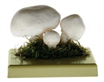 SOMSO Agaricus Campester Model