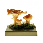 SOMSO Cantharellus Model