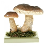 SOMSO Tylopilus Felleus Model