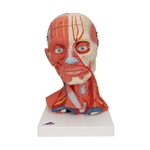 Head Model with Musculature | Head Musculature Model | Neck Musculature Model | Head and Neck Musculature | Head and Neck Musculature Model, 5-part | Anatomical Head and Neck Musculature Model, 5-part C05