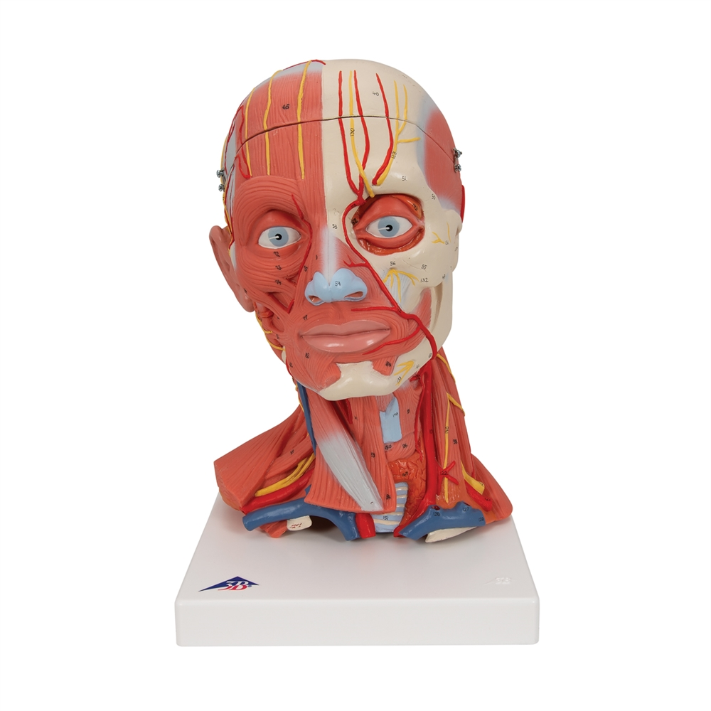 Head And Neck Musculature Model 5 Part