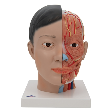 Asian Head Model With Neck | 3B Scientific Asian Head with Neck, 4 part C07