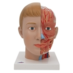 Head Model With Neck | 3B Scientific Head with Neck, 4 part C07