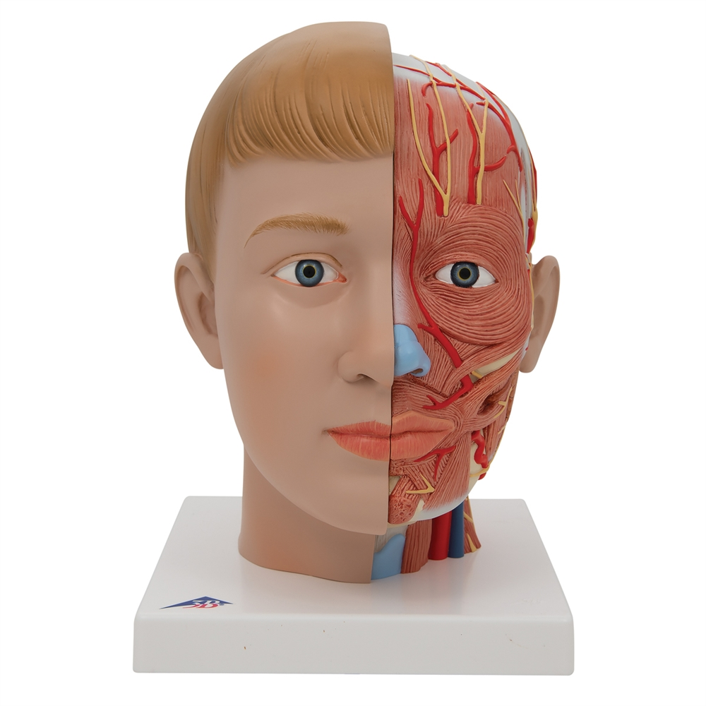 Anatomical Head Model With Neck 4 Part