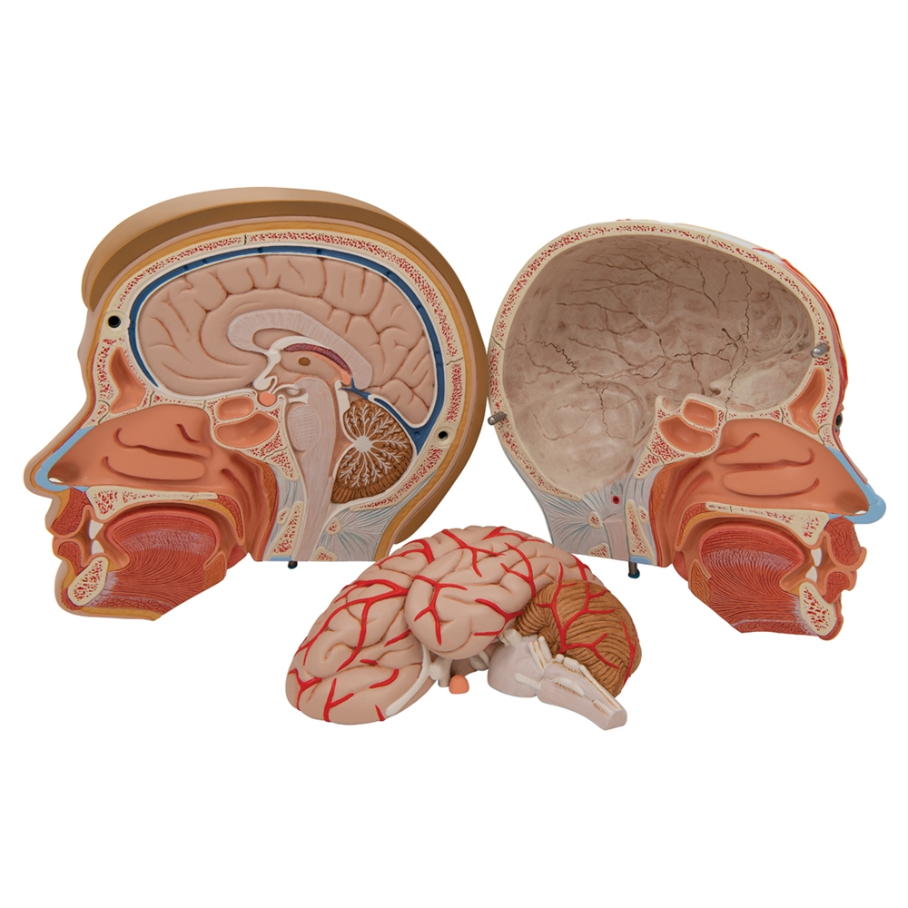 Anatomical Head Model with Neck, 4-part