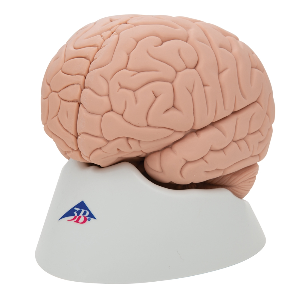 Introductory Brain Model 2 Part