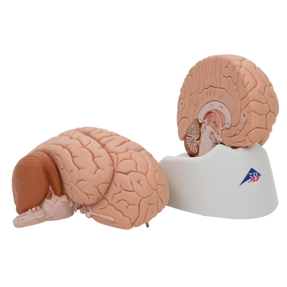 Human Brain Model 2 Parts