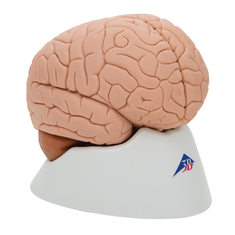 human brain model, 2 parts Brain Computer Interface Diagram