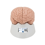 3B Scientific Brain Model, 4 part C16