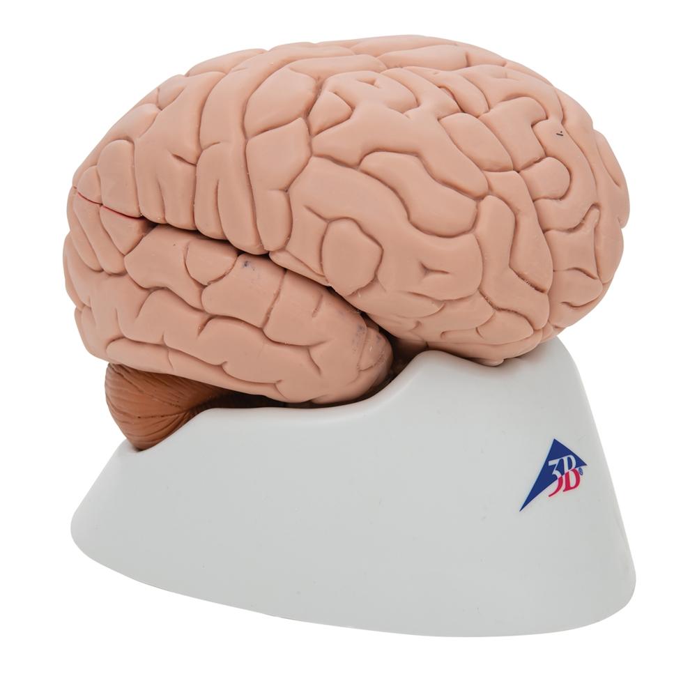 Human Brain Model 8 Parts