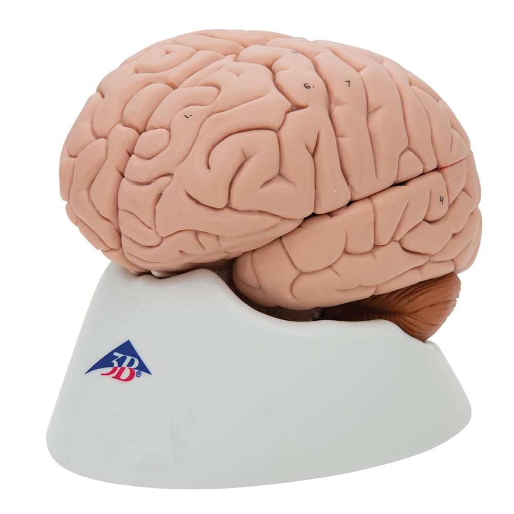 Human Brain Model, 8 parts