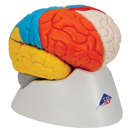 Neuro-Anatomical Brain, 8 part - C22