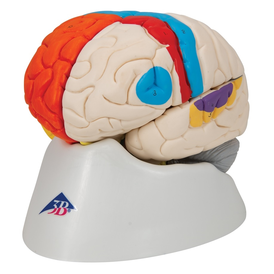 Neuro-Anatomical Brain, 8 part