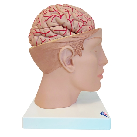 3B Scientific Brain with Arteries on Base of Head, 8 part C25