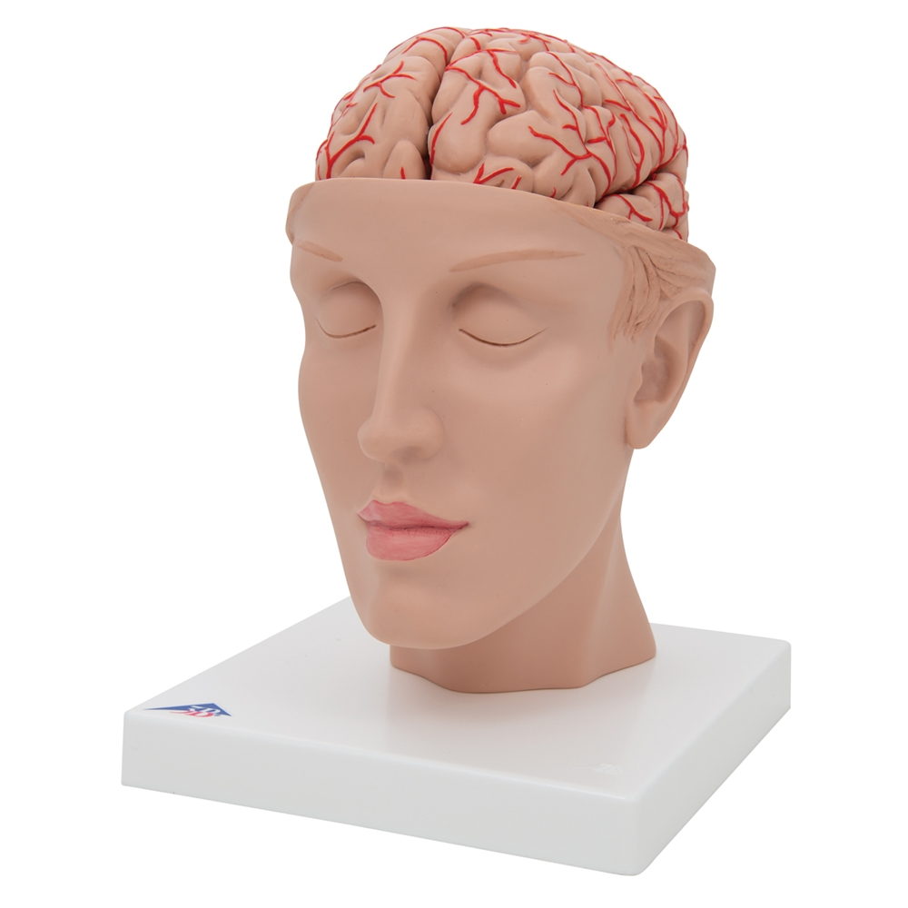 Brain Model With Arteries On Base Of Head 8 Part