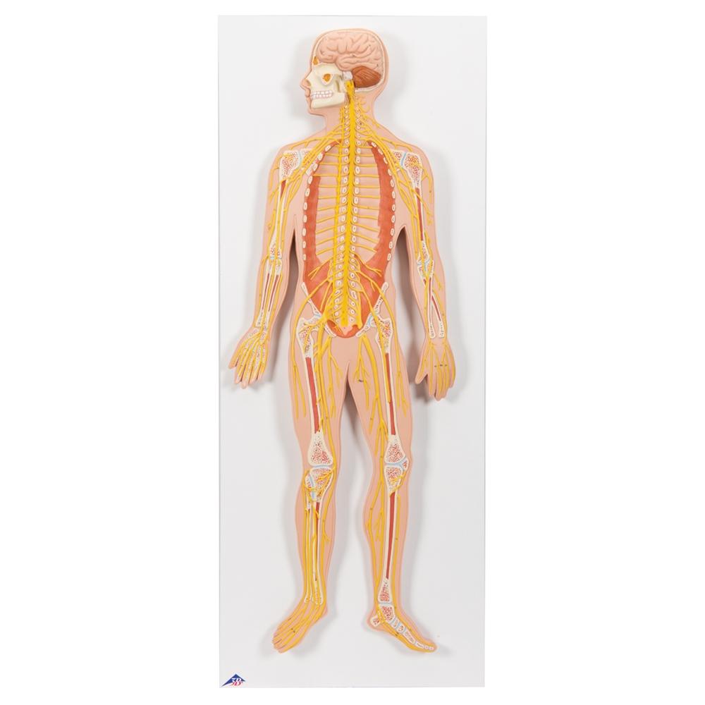 Nervous System Model, 1/2 life-size C30
