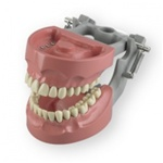 Articulated Dental Model With 32 Removable Teeth - Hard Gum 1M1560CD