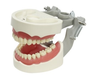 Articulated Dental Model With 32 Removable Teeth - Soft Gum 1MPVR1560C