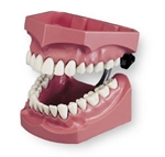 Enlarged Dentoform for Flossing and Brushing Training | Giant Model for Flossing and Brushing Training | Tooth Brushing Model | Tooth Flossing Model | Columbia Dentoform Enlarged Dentoform for Flossing and Brushing Training