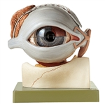 SOMSO Eyeball with Lacrimal Organs and Eyelids, 8 Parts - CS16