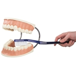 Giant Dental Care Model, 3 times life-size D16
