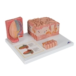 3B MICROanatomy Tongue Model D17