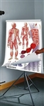 Human Anatomy & Physiology Chart Series - Set on Tripod - DG1435-41