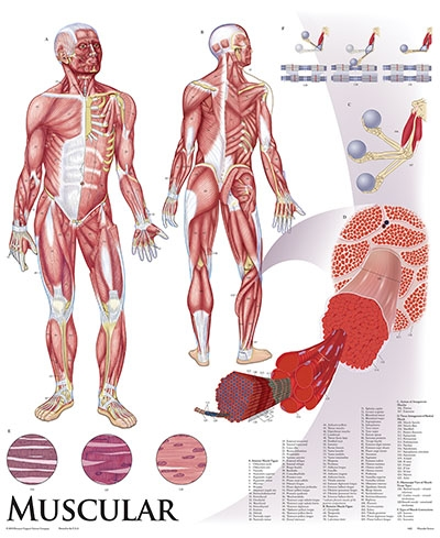 Human Body Charts Ibovnathandedecker