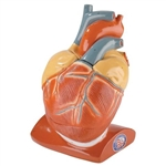 Heart Model | Heart Model | Heart Model | Heart Model | Heart Model | Heart Model | Heart Model | Heart Model | Heart Model | Heart Model | Giant Heart Model | Denoyer-Geppert Giant Heart Model with Pericardium and Diaphragm - part number DG-A41 - 0101-00
