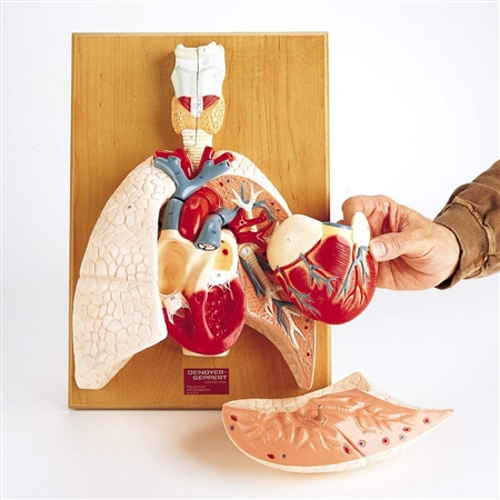 Cardiopulmonary System Model | Heart and Respiratory Organs Model