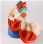 Nonbreakable Life-Size Heart | Anatomical Heart Model | Life-Size Heart Model | Denoyer-Geppert Nonbreakable  Anatomical Life-Size Heart Model DG-A45 - 0131-00