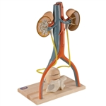 Urinary System| Urinary System Model | Free-Standing Urinary System | Free-Standing Urinary System, male DGA55 | Free-Standing Urinary System On Sale | Denoyer Geppert Free-Standing Urinary System 0145-00