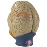 Brain Model | Giant  Brain Model  | Giant Anatomical Brain Model  | Anatomical Brain Model | Giant Anatomical Brain Model 4-Part DG-A70-0170-00 | Denoyer-Geppert Giant Anatomical Brain Model 4-Part DG-A70-0170-00