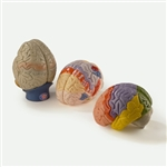 Giant Anatomical Brain Model, Set of 3 DGA70GBS