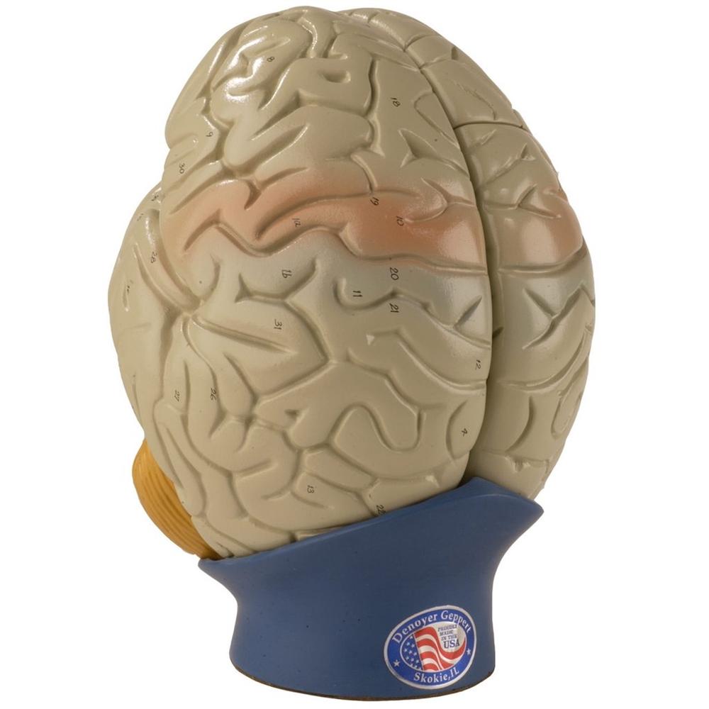 Giant Anatomical Brain Model, Set of 3 DGA70GBS