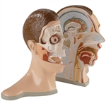 Five-Part Bisected Head , Life-Size DGA76