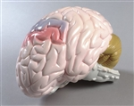 Brain Model | Life-size Brain Model  | Denoyer Geppert Life-size Brain Model | Denoyer Geppert Life-size 2-part Brain Model DG-AB70-0155-00