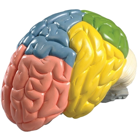 Regional Brain Model  | Life-size Regional Brain Model | Denoyer Geppert Life-size Regional Brain Model | Denoyer Geppert Life-size 2-part Regional Brain Model | DG-AB73 | DG-0156-00 | Buy Denoyer Geppert Life-size Regional Brain Model  On Sale