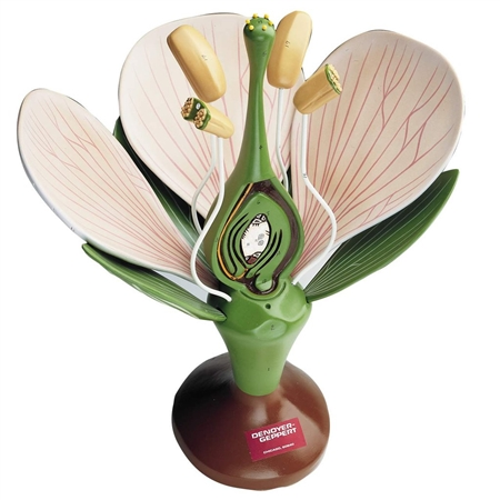 Dicot Flower | Dicot Flower Model | Giant Dicot Flower Model DG-B50 | Dicot Flower Model On Sale | Giant Dicot Flower Model 0500-00