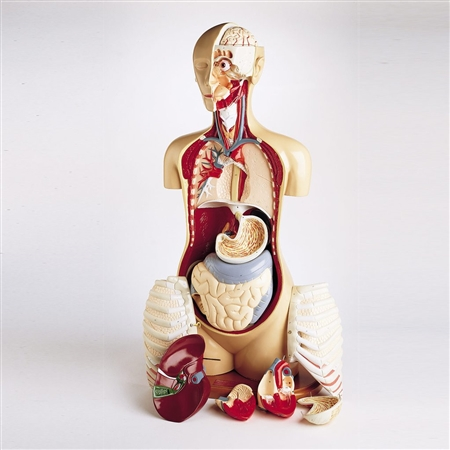 Advanced Knowbody Teaching Anatomical Torso Model DGT29-DS