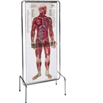 Thin Man Sequential Human Anatomy Figure (0700-00) - DGTM70
