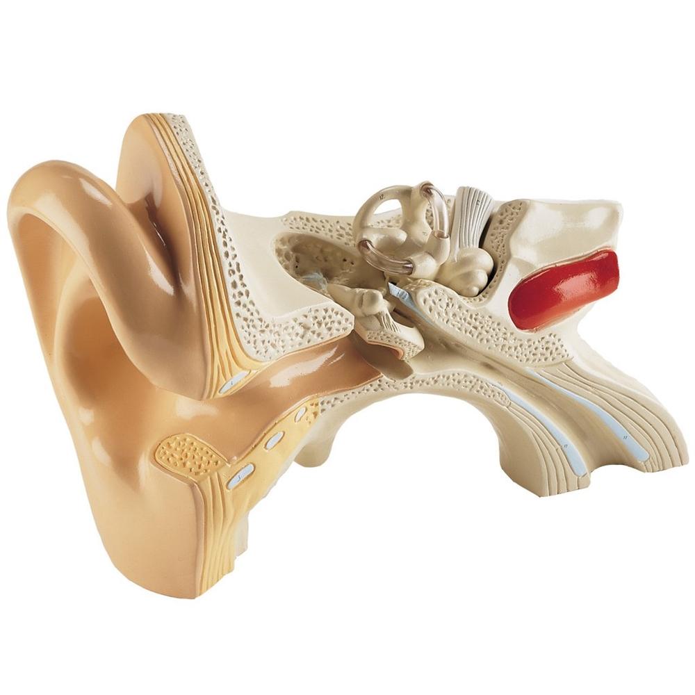 Giant Student Version Ear Anatomy Model DGU83
